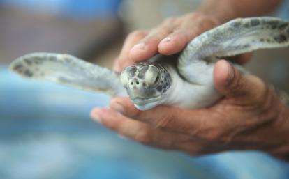環境保護ボランティアがメキシコでウミガメのケアに活躍